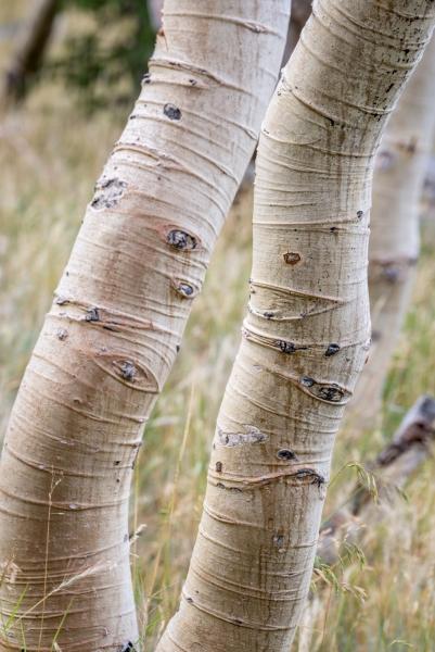 DSC0238 Crooked Aspen Great Basin National Park Nevada